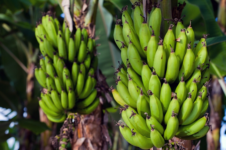 Jamaican bananas re-enter British market 6