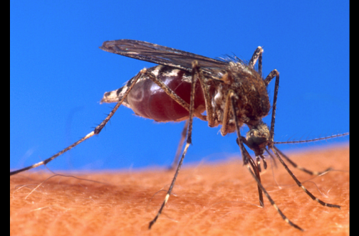 Dominicans deny Chikungunya is caused by mosquitoes 11