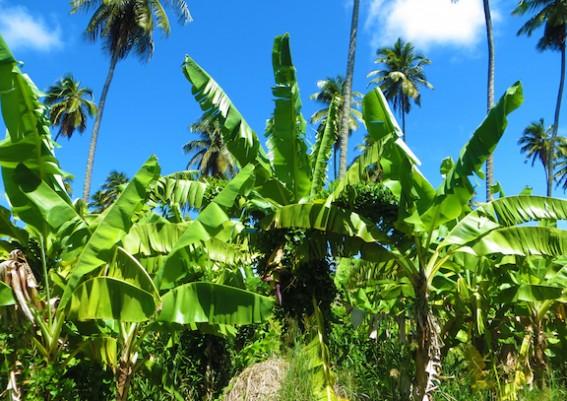 Dominica Banana Industry