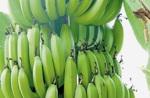 Dominica bananas