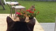 Showdown between house cat 'Pinkerton' and bobcat in Alberta 2
