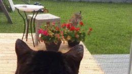 Showdown between house cat 'Pinkerton' and bobcat in Alberta 3