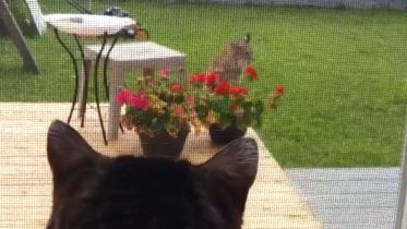Showdown between house cat 'Pinkerton' and bobcat in Alberta 10