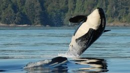 How did three endangered orcas off the coast of B.C. die? 2