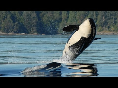 How did three endangered orcas off the coast of B.C. die? 9