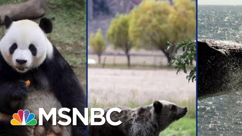 Panda Bears, Elephants, Might Not Be Saved In Trump's America | The Beat With Ari Melber | MSNBC 1