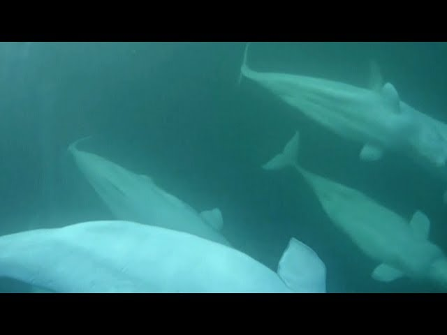 Microplastics found inside Arctic beluga whales 8