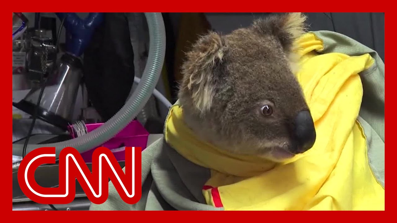 Bush fires threaten koala population in New South Wales 3
