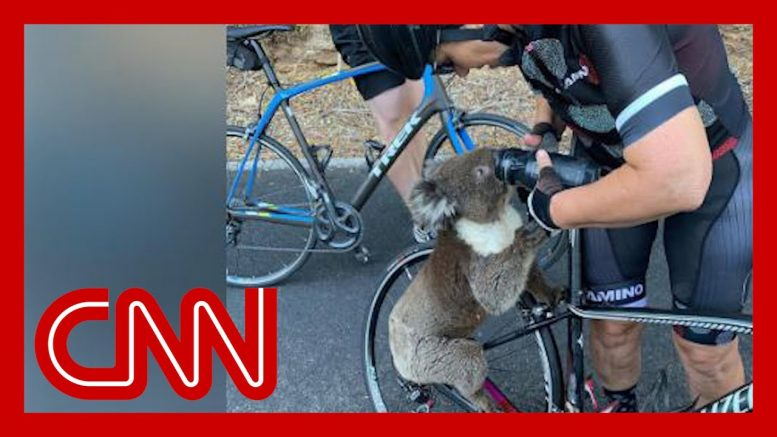 Thirsty koala stops cyclists 1