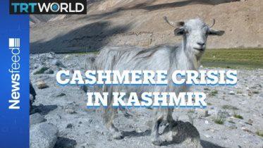 Kashmir's Pashmina Faces Climate Crisis 6