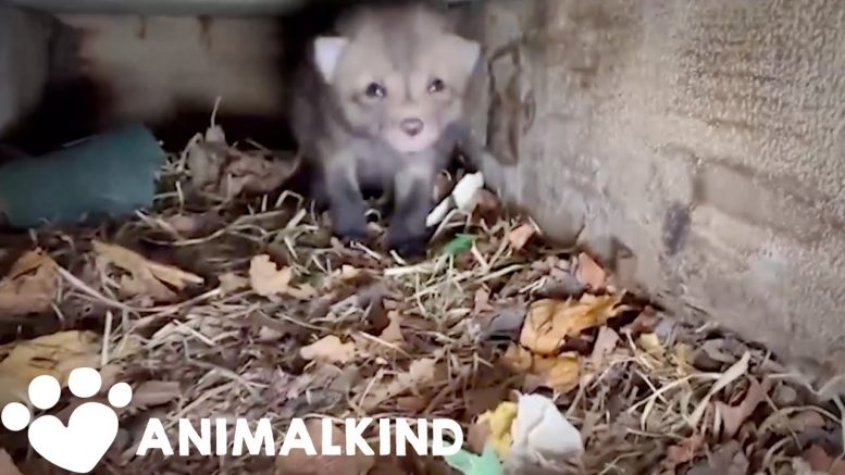 Single fox rescue turns into a whole litter rescue | Animalkind 1
