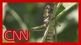 Locust swarms threaten the food supply of millions 5