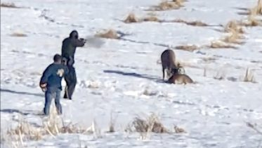 Alberta wildlife officer frees two deer with entwined antlers in a single shot 6