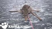 Desperate rescue of deer stranded on thin ice | Animalkind 3