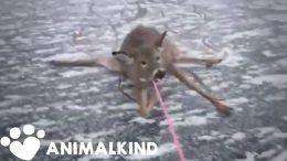 Desperate rescue of deer stranded on thin ice | Animalkind 6