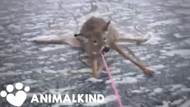 Desperate rescue of deer stranded on thin ice | Animalkind 5
