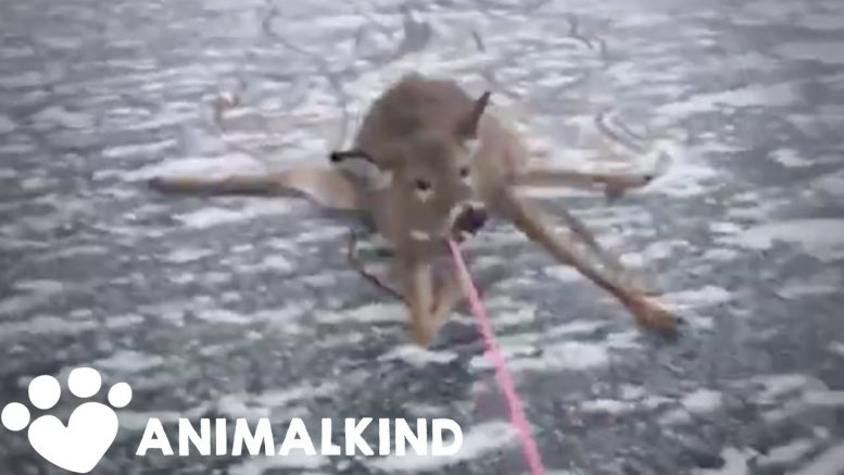Desperate rescue of deer stranded on thin ice | Animalkind 1