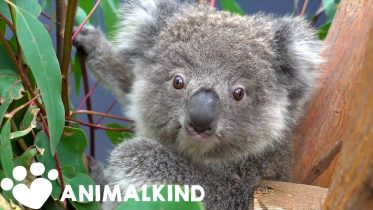 Mommy and baby koala healed and released back into the wild | Animalkind 6