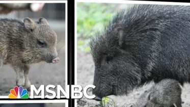 Speeding Javelina Captures Our Hearts | All In | MSNBC 1