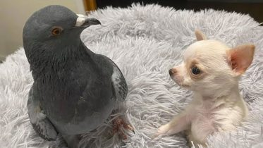 Pigeon that can't fly befriends puppy that can't walk 6