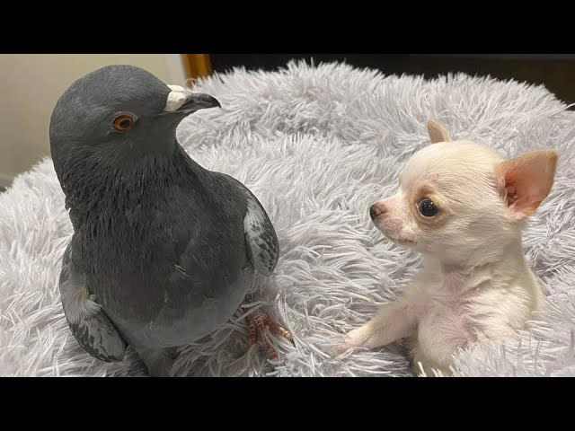 Pigeon that can't fly befriends puppy that can't walk 2