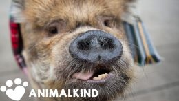 Pig is so popular she gets mobbed in town | Animalkind 4