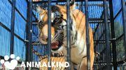 Big cats rescued from circus begin new life at sanctuary | Animalkind 5