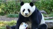Two giant pandas enjoy some early Easter treats 4