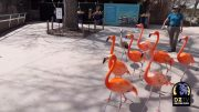 Chilean flamingos take a tour of deserted Denver zoo 3