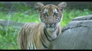 Tiger and New York zoo tests positive for novel coronavirus 3