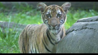 Tiger and New York zoo tests positive for novel coronavirus 6