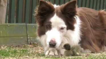 Unlikely pair: Border collie befriends abandoned duckling 2
