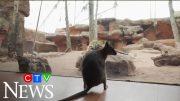 Quokka explores closed Wild Life Sydney Zoo 3