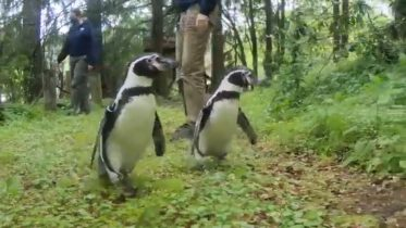 Penguins go on an adventure at Oregon Zoo 6