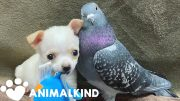 Pigeon and chihuahua form unlikely friendship | Animalkind 3