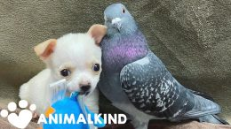 Pigeon and chihuahua form unlikely friendship | Animalkind 8