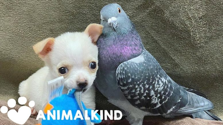 Pigeon and chihuahua form unlikely friendship | Animalkind 1
