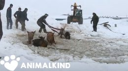 Farmers rescue eleven frantic horses from icy water | Animalkind 2