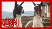 Scientists discover llama antibodies could be key to a coronavirus treatment 4