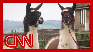 Scientists discover llama antibodies could be key to a coronavirus treatment 6
