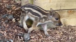Wild boarlets born in Ireland for first time in 800 years 5
