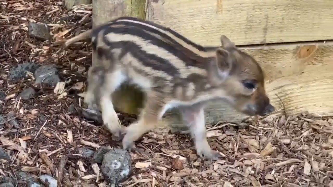 Wild boarlets born in Ireland for first time in 800 years 6