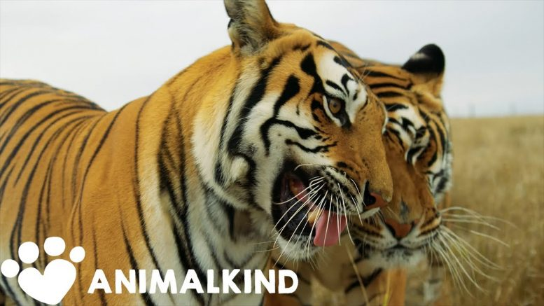 Here's what happened to 'Tiger King' animals after doc   Animalkind 1