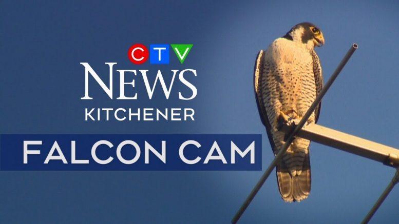 CTV Kitchener Falcon Cam | Peregrine falcons in Ontario | Live 24/7 1