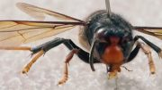 Giant 'murder hornets' have been found in Canada - how worried do you need to be? 3