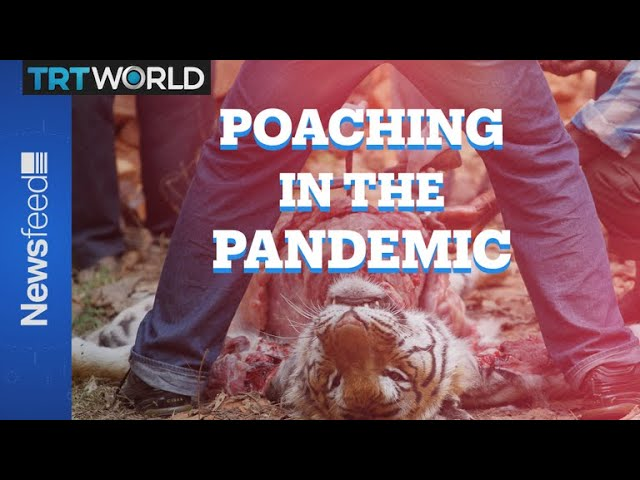 Poaching In The Pandemic: More animals being killed around the globe 1
