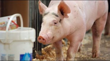 The next COVID-19? Chinese researchers warn that new virus found in pigs could be future pandemic 2