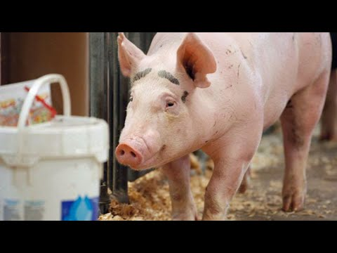 The next COVID-19? Chinese researchers warn that new virus found in pigs could be future pandemic 1