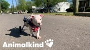 Paralyzed puppy proves everyone wrong | Animalkind 3