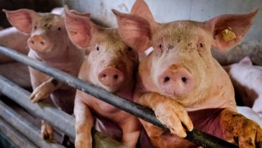 How concerned should people be about the new virus found in pigs in China? 6